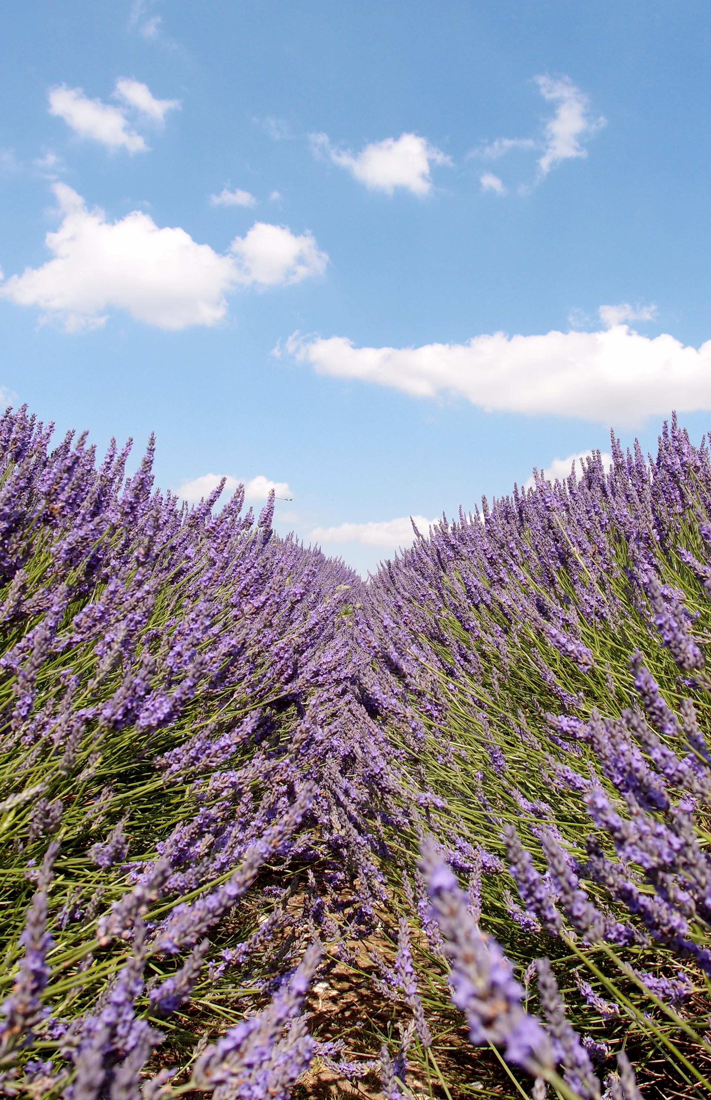 Hitchin Lavender その2。ロンドンからも日帰りで行けるおすすめのラベンダー園です!