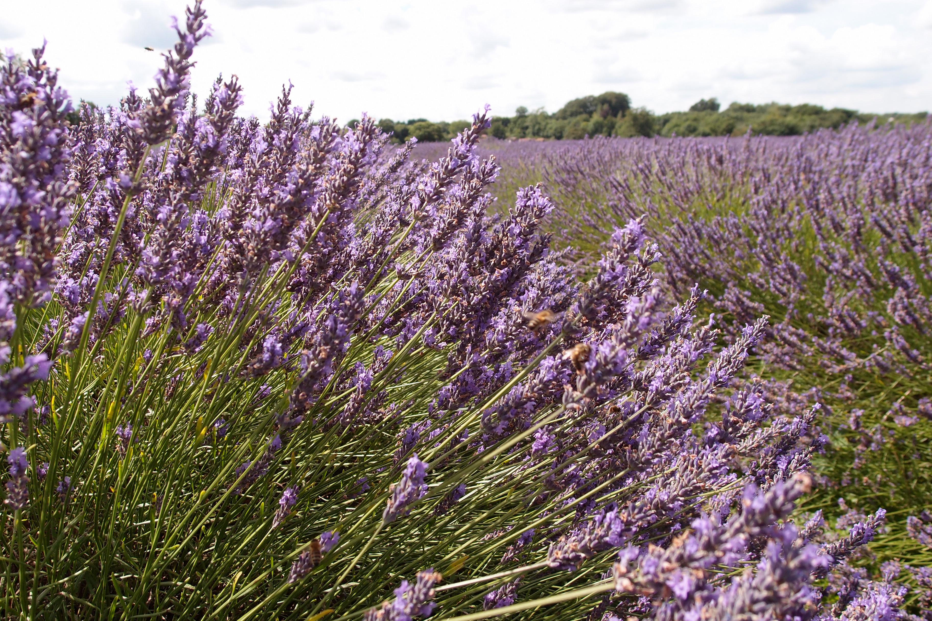 Mayfield Lavender は、とても可愛らしいラベンダー園でした!