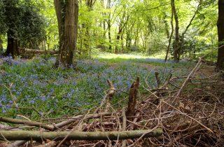 Highgate Wood でブルーベルウォッチング【Bluebells in London】