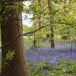 1年ぶりの Osterley Park。 ブルーベルの咲く庭からは、1年前とは違った印象を受けました【Bluebells in London】