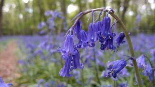 Wanstead Park ーおそらく、ロンドンで1番ブルーベルが咲き乱れる場所の1つです。【Bluebells in London】