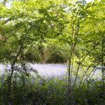 Perivale Wood Local Nature Reserveー 1年に1度だけのブルーベルウォッチング