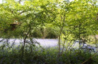 Perivale Wood Local Nature Reserveー 1年に1回だけのブルーベルウォッチング