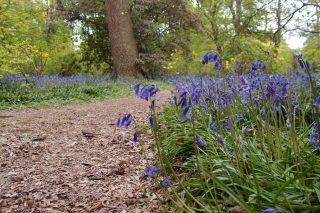 Isabella Plantation では、この時期ブルーベルとつつじの両方を楽しむことができます。【Bluebells in London】