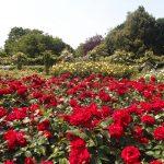 Regent's Park にある Queen Mary's Gardensー バラを見たかったらここに行けば、がっかりすることはありません!