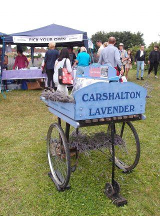 Carshalton Lavender は、南ロンドンで唯一、ラベンダーの摘み取り体験ができる場所です!